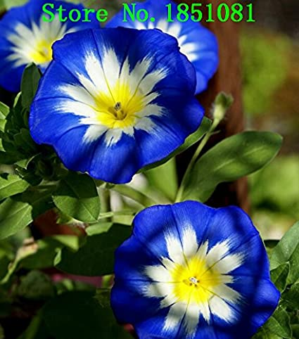 Amazon com : Convolvulus Tricolor Dwarf Morning Glory Seeds