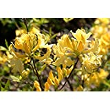 PlenTree 15 Giant Yellow Azalea Seeds*Rhododendron* 6' to 10' Ft. *Sweet Fragrant*Showy*#1232