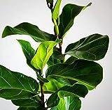 fiddle leaf fig tree Fiddle Leaf Fig - 5' Tall Tree - Beautiful! - Ficus Lyrata - Florist Quality