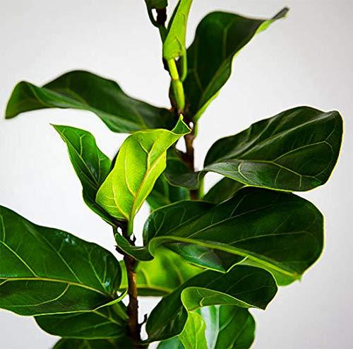 Fiddle Leaf Fig - 5' Tall Tree - Beautiful! - Ficus Lyrata - Florist Quality