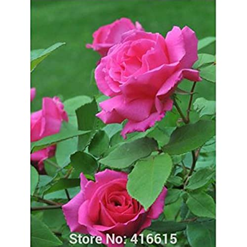 Love Garden Roses: Climbing Rose Plants: Amazon.com