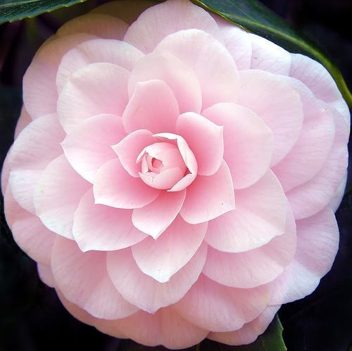 100-mixed-colors-double-camellia-impatiens-balsam-lady-slipper-touch-me-not-impatiens-balsamina-flow