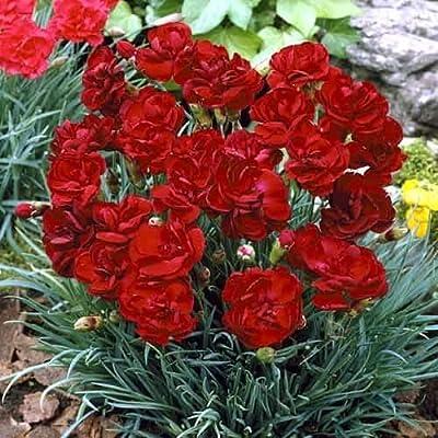 KOUYE GardenSeeds-100pcs Colorful Dianthus Seeds, Flower Seeds Seed Hardy Perennial Dianthus Seed Garden : Garden & Outdoor