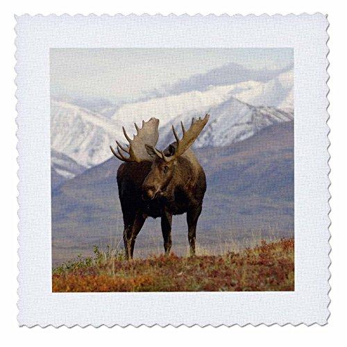 3dRose qs_87701_6 Moose bull wildlife, Denali National Park, Alaska - US02 SKA3065 - Steve Kazlowski - Quilt Square, 16 by 16-Inch - 16w Moose
