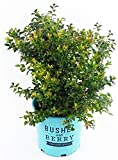 plants for deep shade Bushel and Berry - Vaccinium cor. Blueberry Glaze (Blueberry) Edible-Shrub, , #2 - Size Container