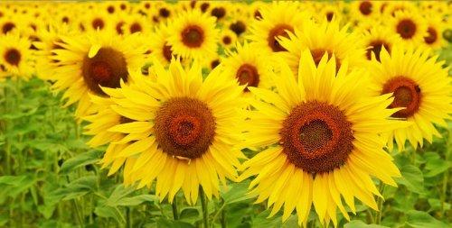 Cheap  Startonight Canvas Wall Art Sunflower, Flowers USA Design for Home Decor, Dual..