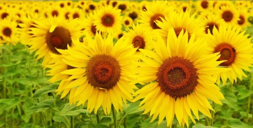 Startonight Canvas Wall Art Sunflower, Flowers USA Design for Home Decor, Dual View Surprise Artwork Modern Framed Ready to Hang Wall Art 23.62 x 47.2 Inch 100% Original Art Painting by Startonight