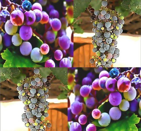New California Wild Grape Fruit 20 Seeds - Vitis californica - Combined S&H (Wine Grape Bonsai Tree)