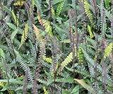 5 Starter Plants of Blechnum Penna Marina