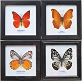 REAL MIXES 4 BUTTERFLIES DISPLAY INSECT TAXIDERMY IN FRAMES FOR COLLECTIBLES