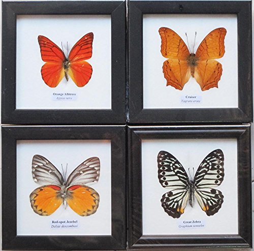 REAL MIXES 4 BUTTERFLIES DISPLAY INSECT TAXIDERMY IN FRAMES FOR COLLECTIBLES (Wood Picture Frame Monarch)