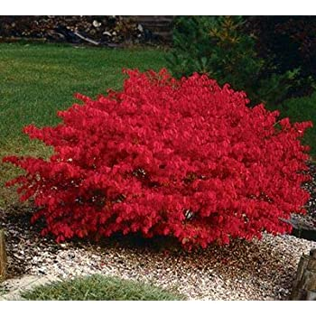 Image result for burning bush shrub