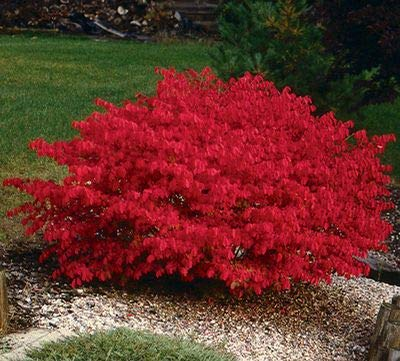 (2 Gallon Bare-Root) BURNING BUSH Shrub, blue-green colored leaves in summer turns into fiery red autumn foliage making it an excellent landscape -
