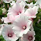 Kings Seeds - Lavatera Dwarf Pink Blush - 100 Seeds