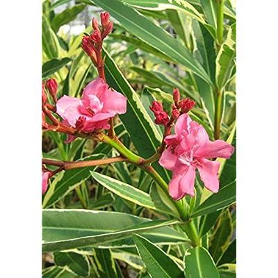 Twist of Pink Oleander : Garden & Outdoor