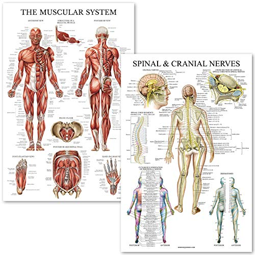 - Muscular System & Spinal Nerves Anatomical Poster Set - Laminated - 2 Poster Set - Muscle and Spinal Nerves Anatomy Chart Set (Muscle/Spine)