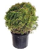 Thuja occidentalis 'Hetz Midget'  (Globe Arborvitae) Evergreen, #3 - Size Container