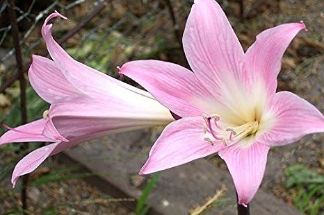 Amazon 1 amaryllis belladonna pink naked lady magic lily 1 amaryllis belladonna pink naked lady magic lily flower dancing ladies bulb mightylinksfo