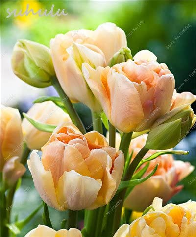 Amazon Com 10 Pcs Tulip Seeds Rare Perennial Bonsai Flower Seeds