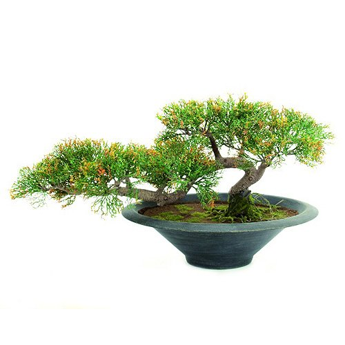 Euro Palms 82600113 Bonsai-Zeder, 40 cm