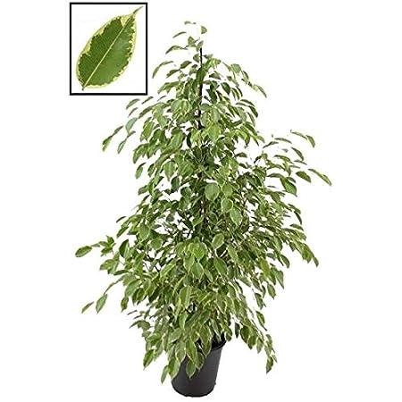 Chamaedorea Seifrizii 150 160 Cm Bambuspalme Zimmerpflanze Blumen Senf