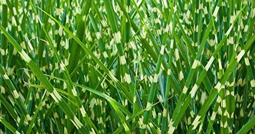 Miscanthus sinensis Zebrinus | Zebra Grass | 100_Seeds