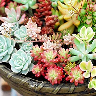 QiBest 100 Pcs Mixed Succulent Anti-Radiation Fleshy Seeds Potted Flower Cacti & Succulents : Garden & Outdoor