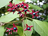Seeds 5 Seeds Tree Clergy (clerodendrum trichotomum) semi samen semilla