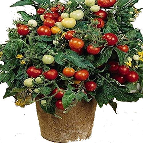 (NIKITOVKASeeds - Cherry Tomato Linda - 40 Seeds - Organically Grown - NON GMO)