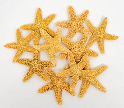 (Sugar Starfish | 10 Brown Sugar StarFish 3/4