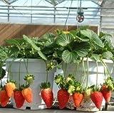 1000 Pcs (24 Colors ) Strawberry Seeds Fruit Strawberries Seeds Flower Seed Garden Indoor Diy Garden Bonsai Flower Pots Planters