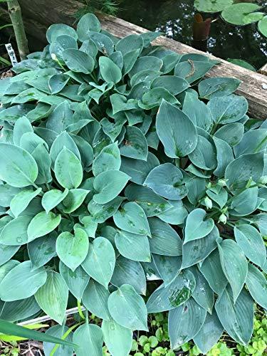 Amazoncom Hostafragrant Blue Garden Outdoor