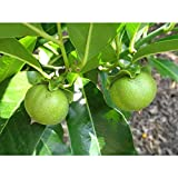 Vernon White Sapote Tropical Fruit Trees 3-4 Feet Height in 3 Gallon Pot #BS1