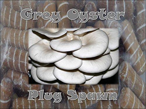 Oyster Plug - Grey Oyster Mushroom Plug Spawn 50 count