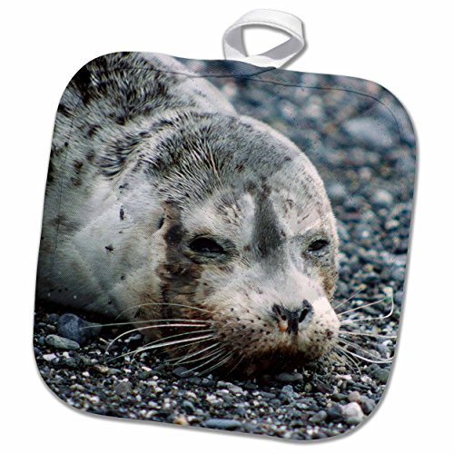 3dRose Danita Delimont - Seals - Washington, Pacific Harbor Seal pup - US48 KWI0009 - Kymri Wilt - 8x8 Potholder (phl_96464_1)