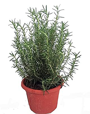 """Tuscan Blue Rosemary Herb Plant - Inside or Out - Easy to Grow - 8"""" Pot"""