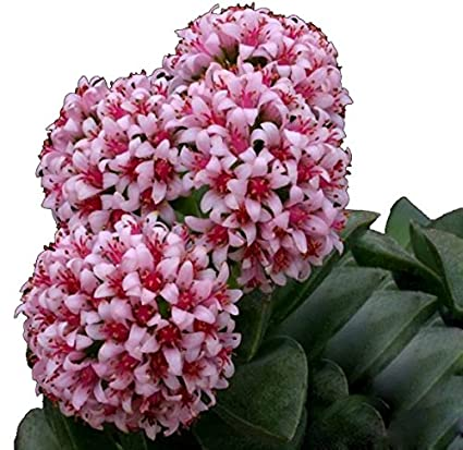 Futaba bag aurora ball cactus flower seeds pink 10 pcs amazon futaba bag aurora ball cactus flower seeds pink 10 pcs mightylinksfo