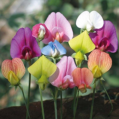 Discount Heirloom 30 Seeds Sweet Pea Lathyrus Lord Anson's Bitter Vetch Everlasting White Pink Red for sale