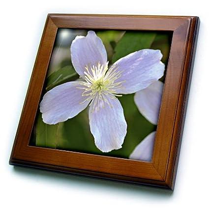 3dRose ft_54504_1 Pretty Pink Clematis Flower Floral Print Spring Framed Tile, 8 by 8-Inch