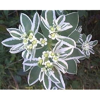 Euphorbia marginata Snow Top    500 seeds  Need More Ask