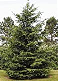 50 Norway Spruce Tree Seeds, Picea Abies