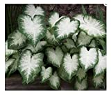 3 Fancy Leaf Caladium - Aaron - Large Roots - Zone 9-11