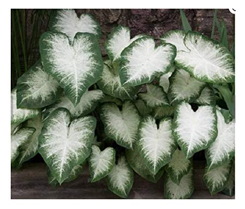 Fancy Leaf Caladium - Aaron - Large Roots - Zone 9-11 (Caladium Plant)