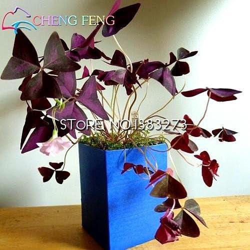 Semillas de flores 100pcs Bonsai Oxalis Flores Semillas Flores Raras para el jardín de Plantar Semillas Raras De Verduras: Amazon.es: Jardín