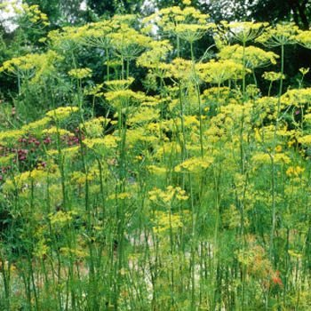 Outsidepride Dill Seed - 1 Ounce - Weed Dill Seed