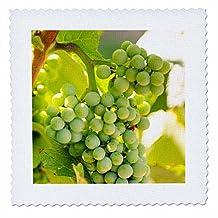 Danita Delimont - Grapes - Grape vines at Mission Hill Family Estate, Canada. - 10x10 inch quilt square (qs_205913_1)