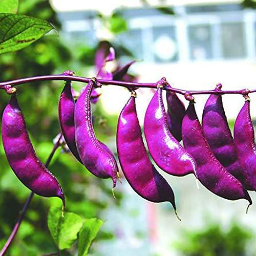 Hyacinth Bean-Purple Hyacinth Bean Red Leaved Plant Vine Seed 10g 15+ Seeds