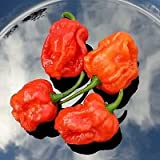INFINITY HOT CHILI Pepper/1 of Top 10 HOTTEST Measuring 1,200,000 Scoville Units