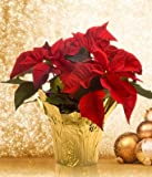 Christmas Poinsettia - Online Flowers - Wedding Flowers Bouquets - Birthday Flowers - Send Flowers - Flower Delivery - Flower Arrangements - Floral Arrangements - Flowers Delivered - Sending FlowersDoggy Supply Mall