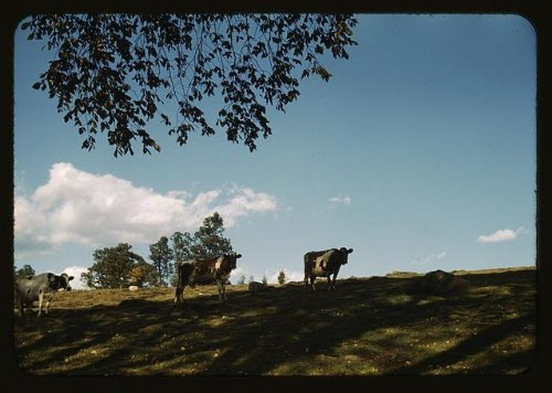 Photo: Cows,cattle,herds,animals,ranches,hillside,United States,1941